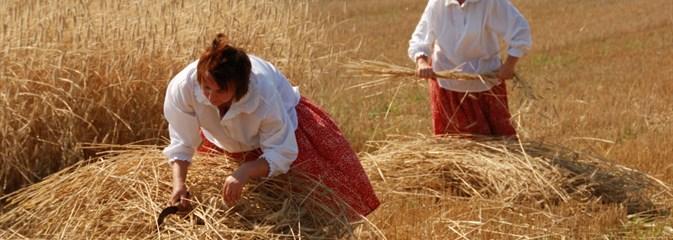 W skansenie stygi już zdobią pola